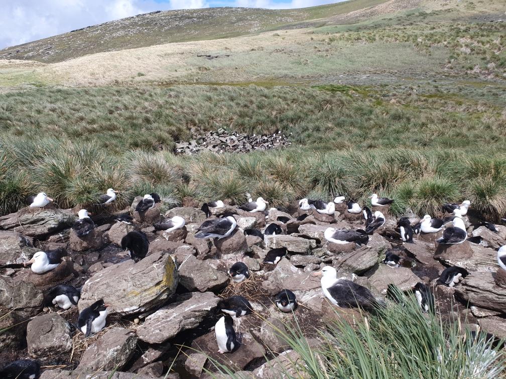 Rockhopper - Schwarzbrauenalbatross - Kolonie