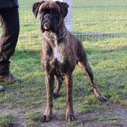 Paloma von der Goldstadt Zuchthündin Boxerwelpen Boxer Puppy IPO ZTP AD