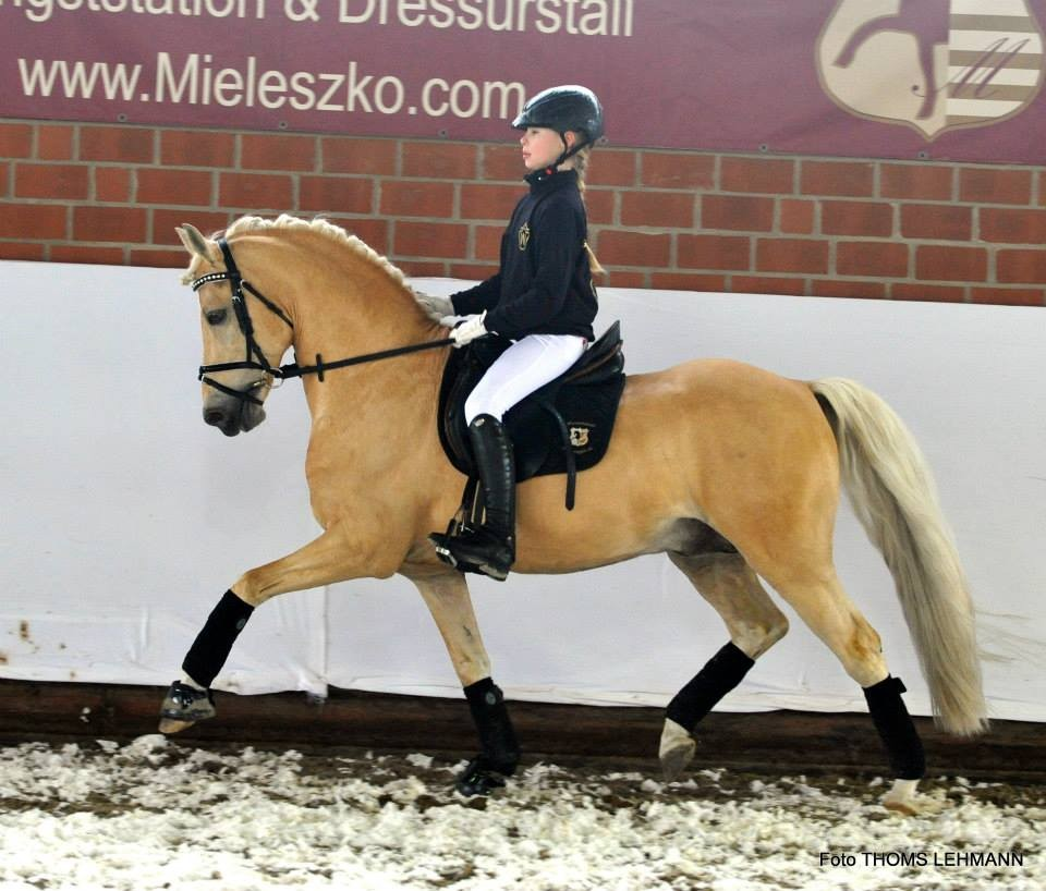 HET Golden Dream - Hengst Pony Dressur Jill Mieleszko