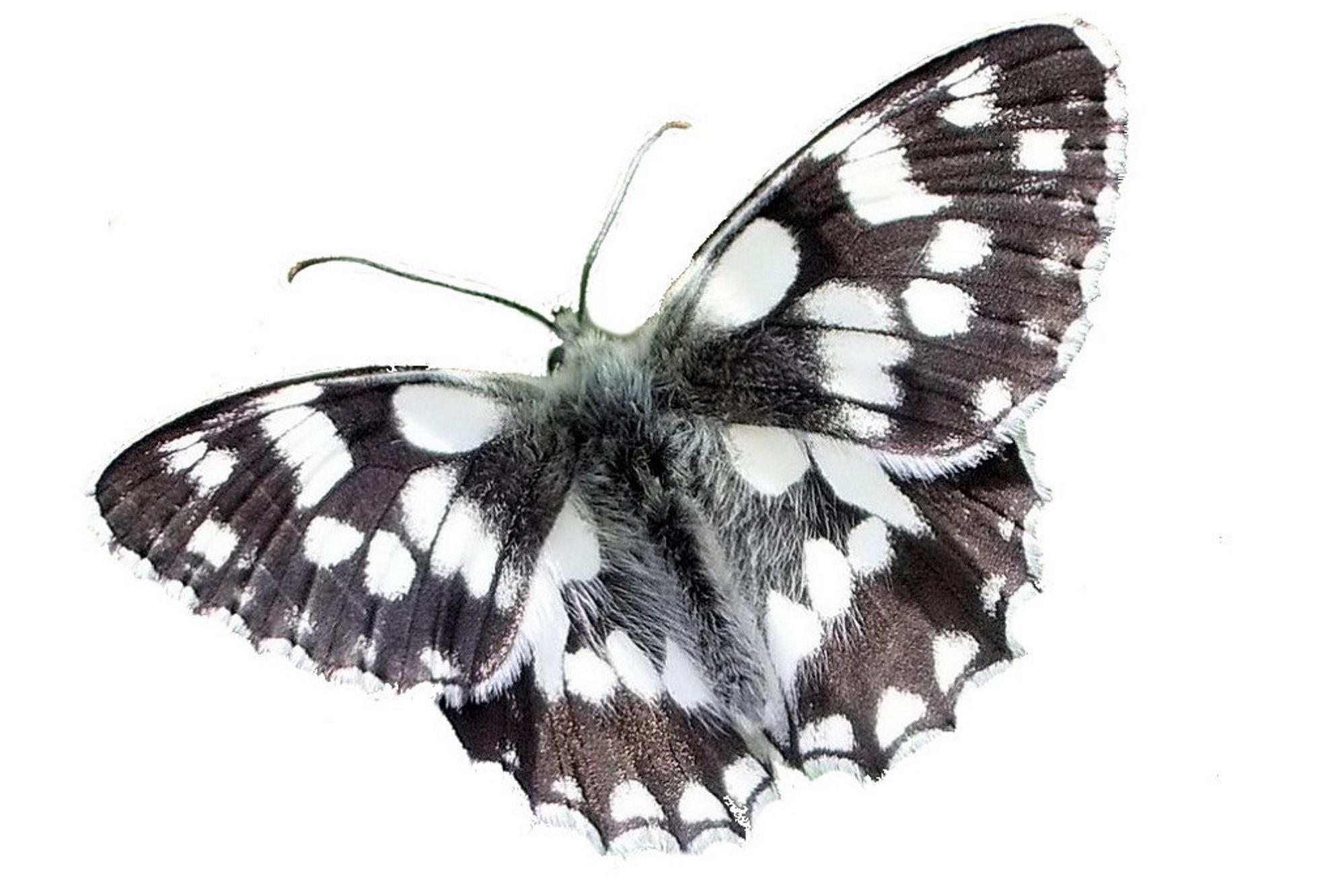 Papillon Demi-deuil face dorsale