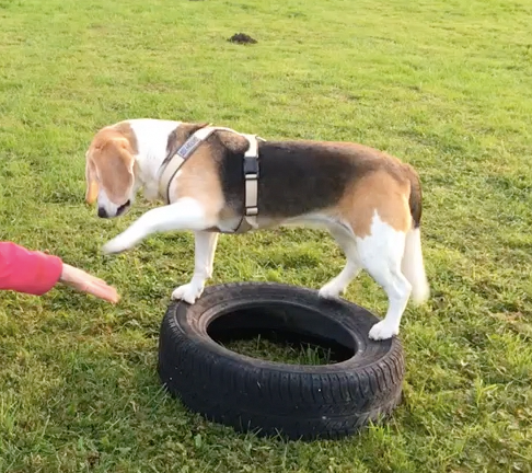 Doro gibt Pfötchen, auf dem Reifen stehend