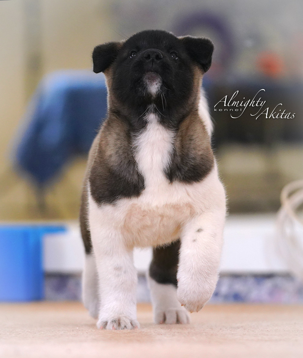 American akita puppy, AFA HERMES TRISMEGIST, male, 2 months