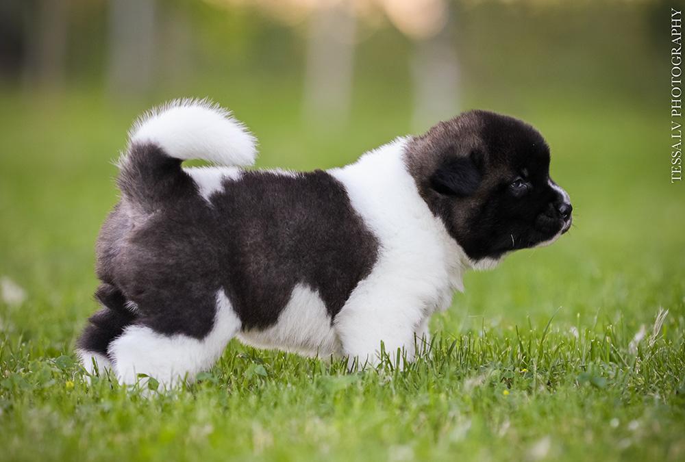 American akita puppy DRACO 3 weeks
