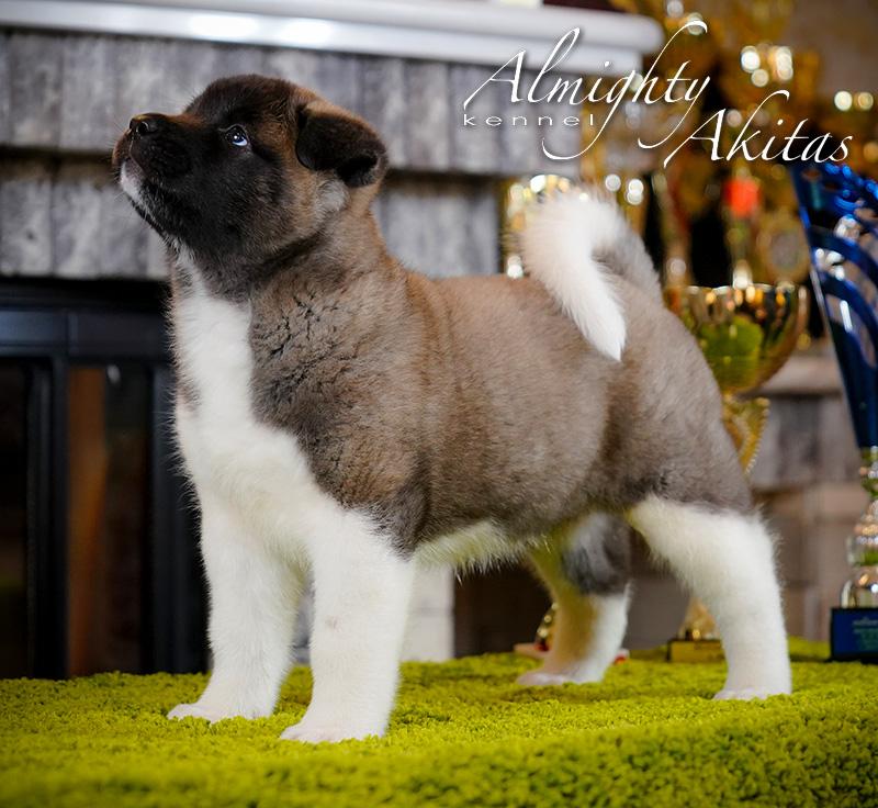 American akita puppy, AFA HAPPY HUNTER, female, 6 weeks