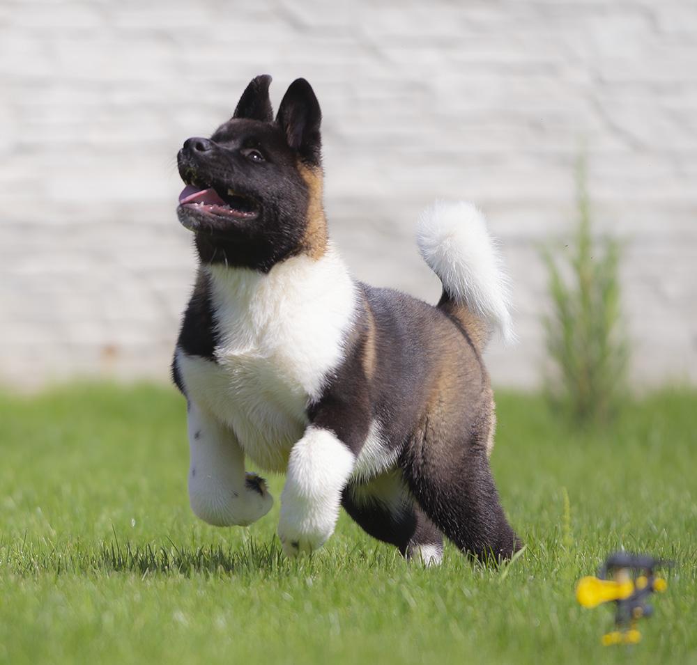 American Akita PUPPY - female- 3,5 months
