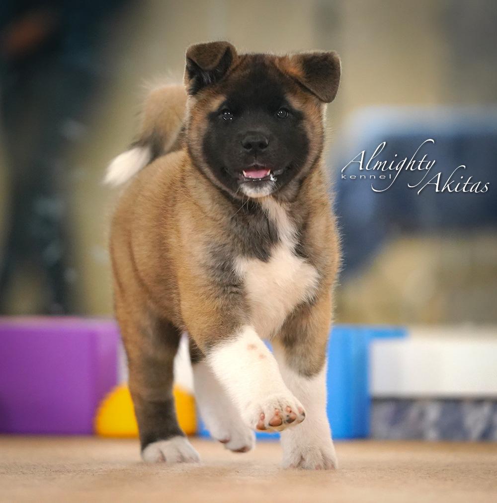 American akita puppy, AFA HIGH BLOOD, female, 2 months