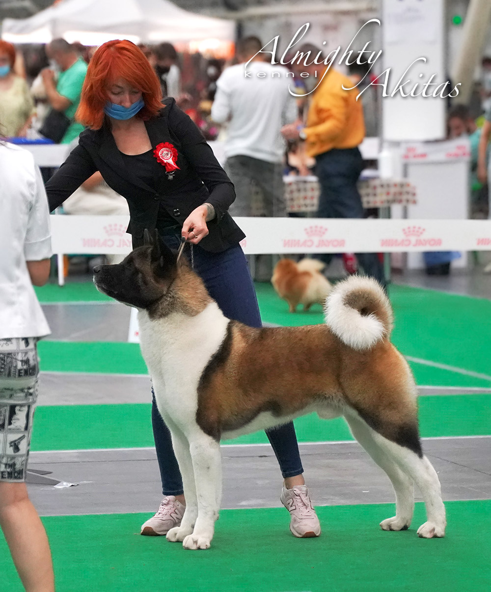 American akita ALL FOR ALMIGHTY BEFORE HEAVEN