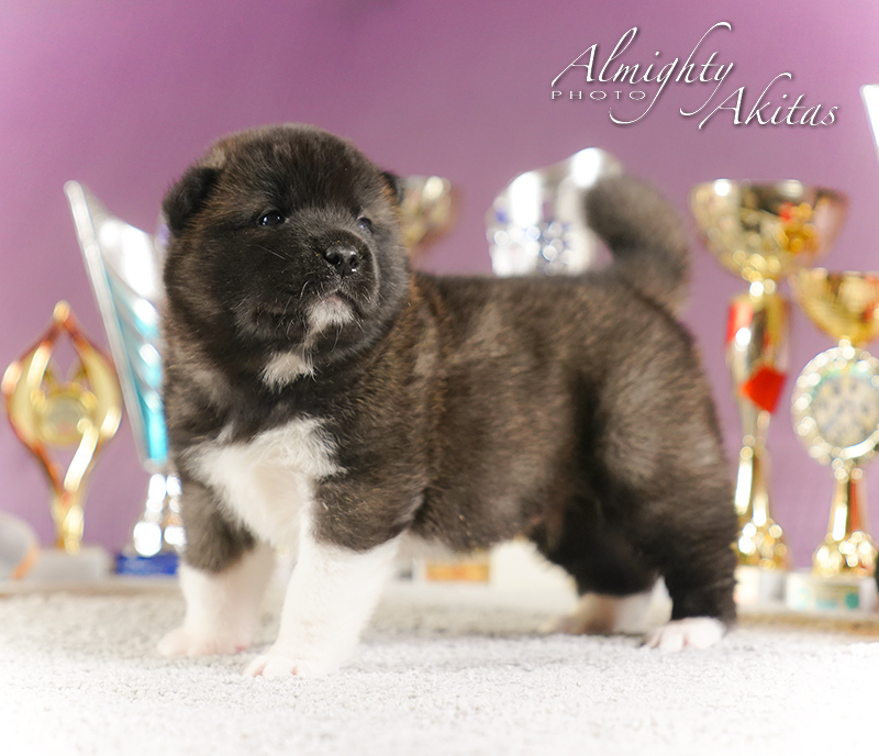 American akita puppy, AFA HUDSON HAWK, male, 25 days
