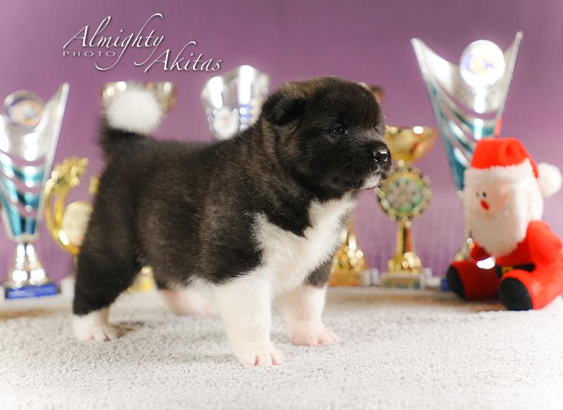 American akita puppy, AFA HONOUR BRIGHT, female, 25 days