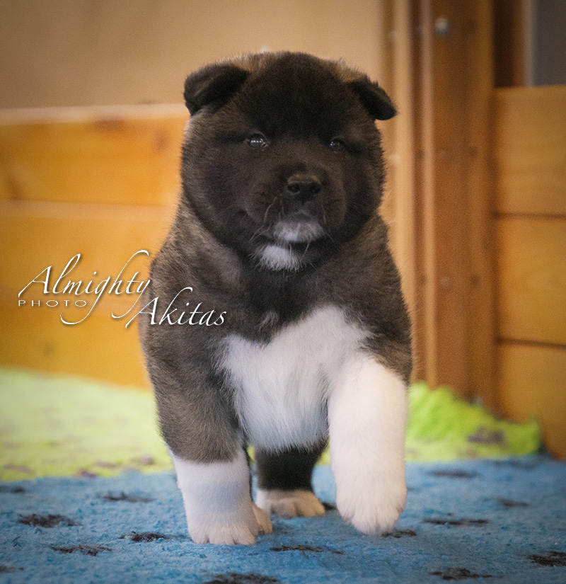 American akita puppy, AFA HUDSON HAWK, male, 35 days