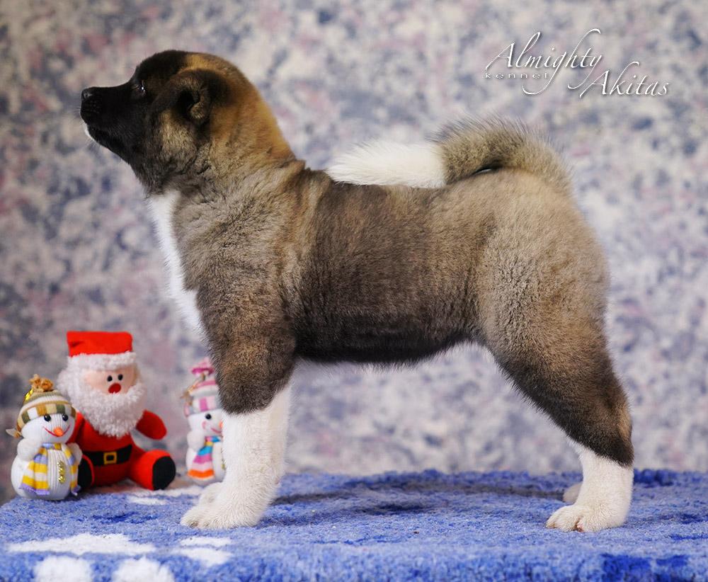 American akita puppy, AFA HONOUR BRIGHT, female, 2 mon