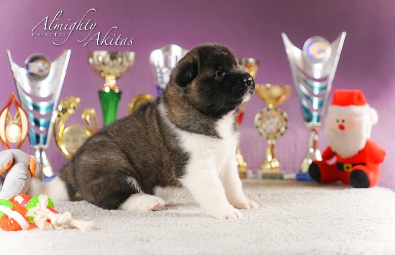 American akita puppy, AFA HAPPY HUNTER, female, 25 days