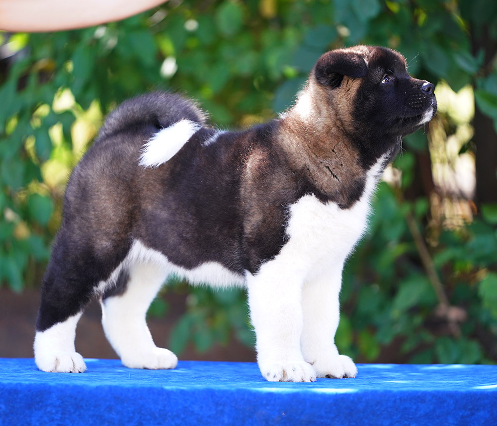 American Akita puppy VIVIAN ALL MY STAR