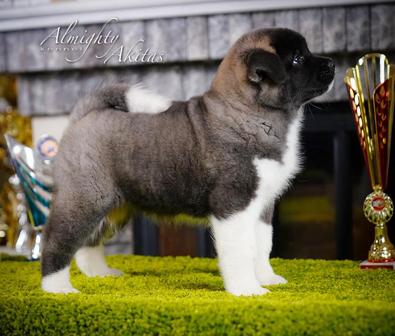 American akita puppy, AFA HONOUR BRIGHT, female, 6 weeks