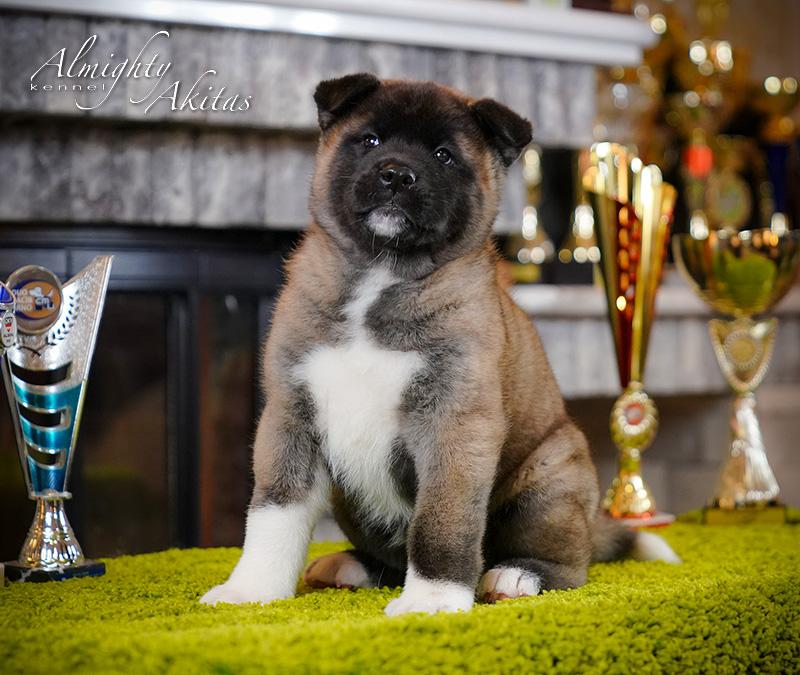 American akita puppy, AFA HONEST SOUL, female, 6 weeks
