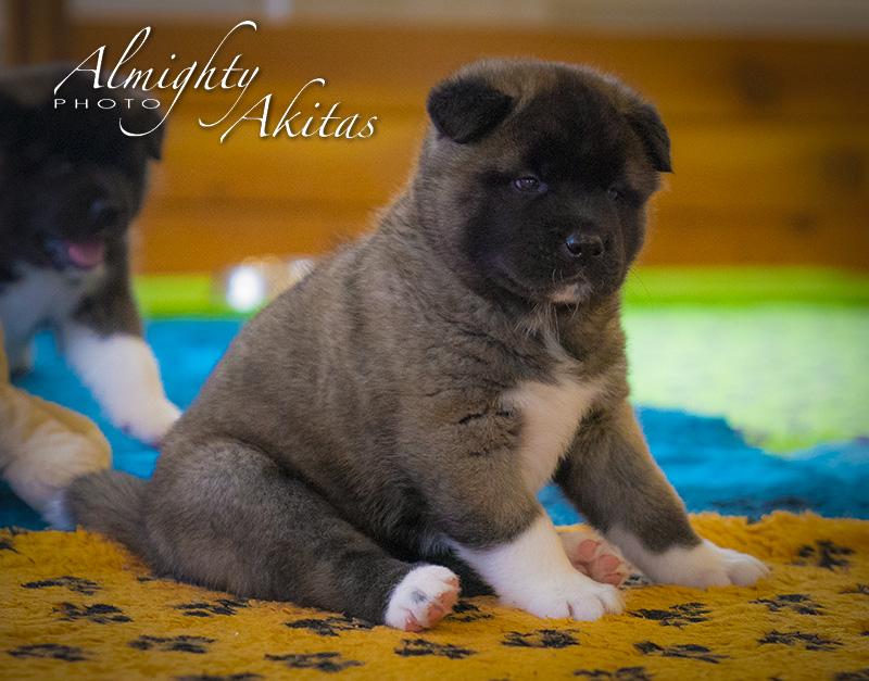 American akita puppy, AFA HONEST SOUL, female, 35 days
