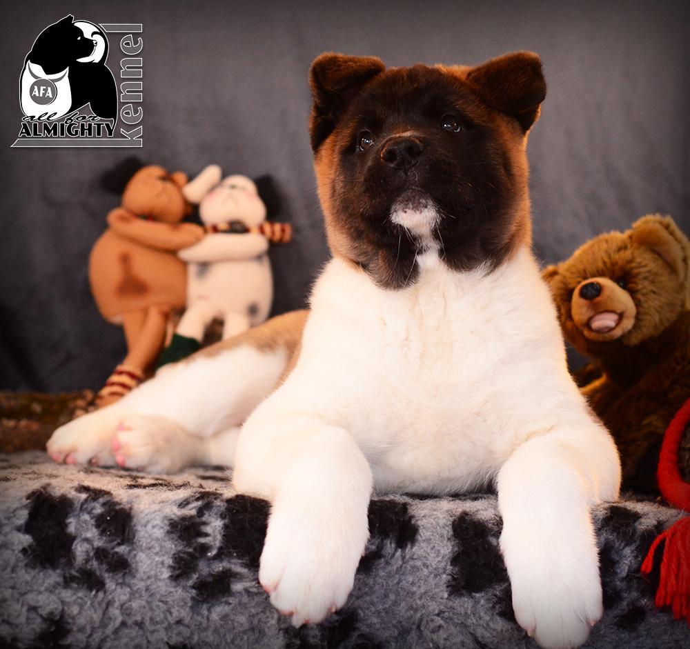 #ilovemypuppy #bigdogs #beautifuldogs #allforalmightykennel #allforalmyghty #almighty #american-akita-for-sale #american-akita-puppy #american-akita-puppies #american-akita-dogshow #akitas-dogshow