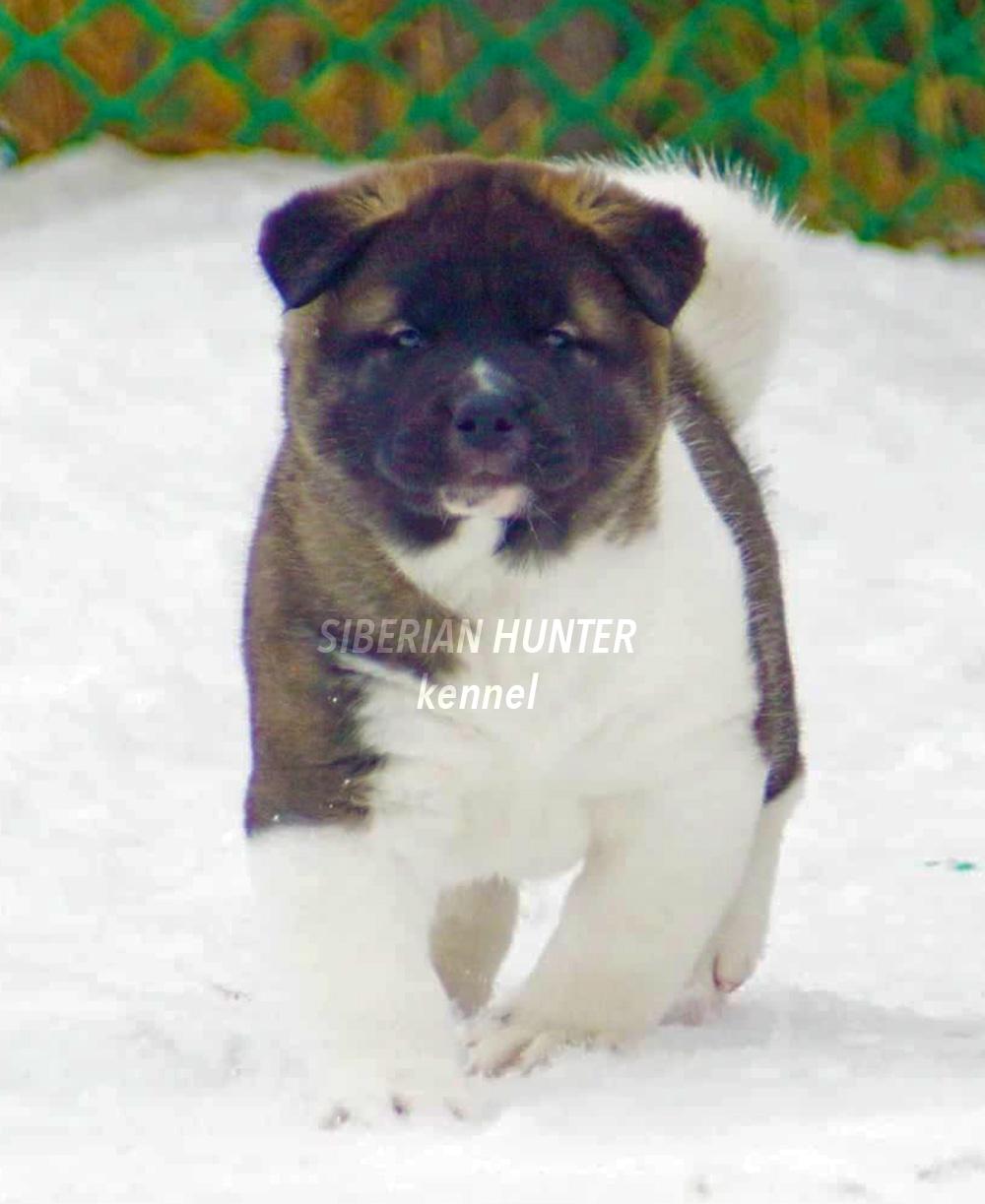 #bestdog #akitakemerovo #akitarussia #americanakitainrussia #bestpuppiesakita #puppiesakitaforsale #bloodchampions #puppyfromchampions #siberianhunterkennel #amakitakennelcom #americanakitakennel #akitabreeder #bestbreeder #bestpuppy #akitaamericano #kenn