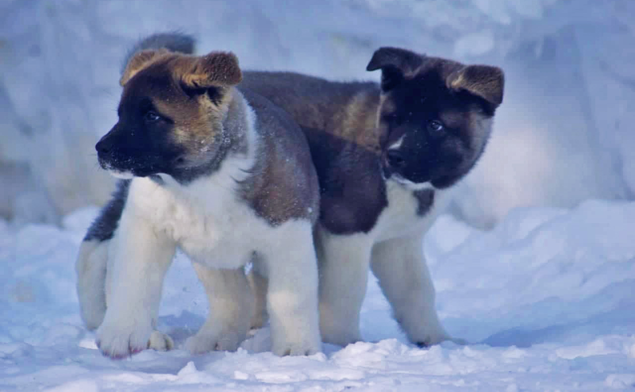 American Akita puppies SIBERIAN HUNTER kennel