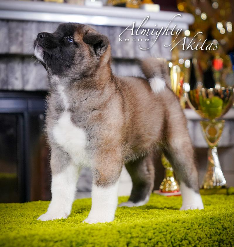 American akita puppy, AFA HIGH BLOOD, female, 6 weeks