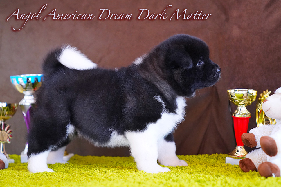 American Akita PUPPY - female- 6 weeks