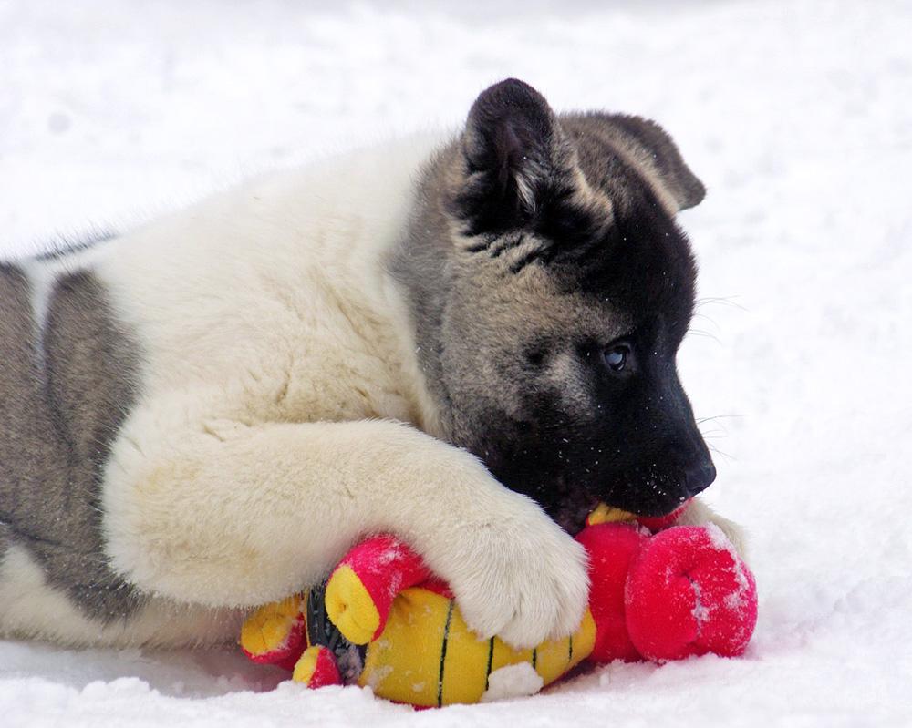 щенок американская акита Siberian Hunter ORSA