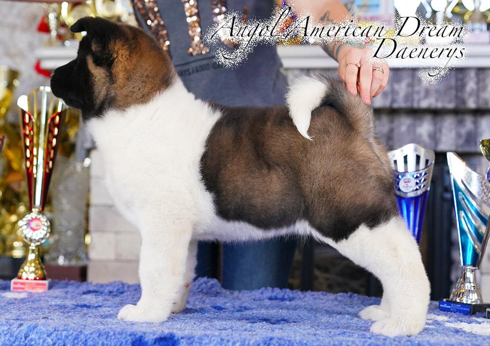 American Akita PUPPY - female- 9 weeks