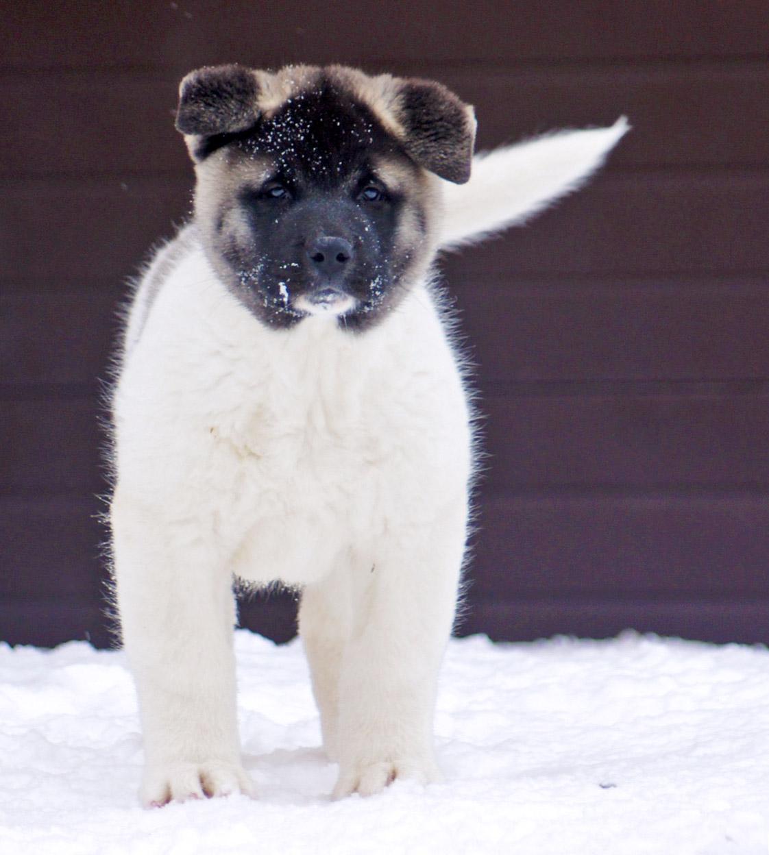 american akita puppy Siberian Hunter ORSA