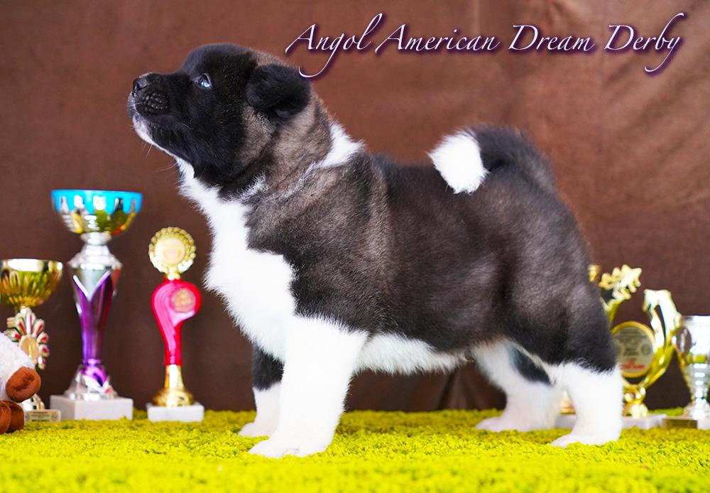 American Akita puppy - male 6 weeks