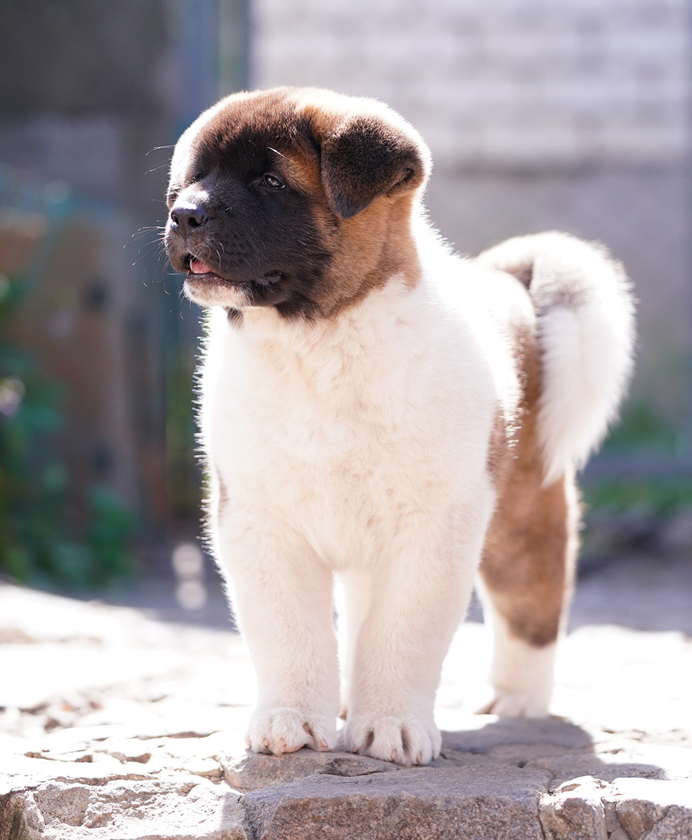Щенок американской акиты VIGGO KING OF THE RING ::: American akita puppy VIGGO KING OF THE RING