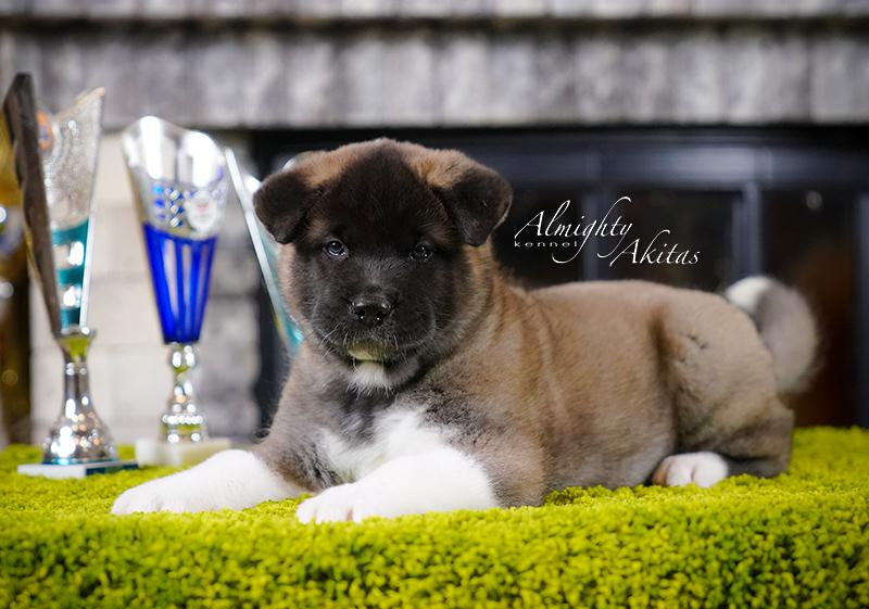 American akita puppy, AFA HUDSON HAWK, male, 6 weeks
