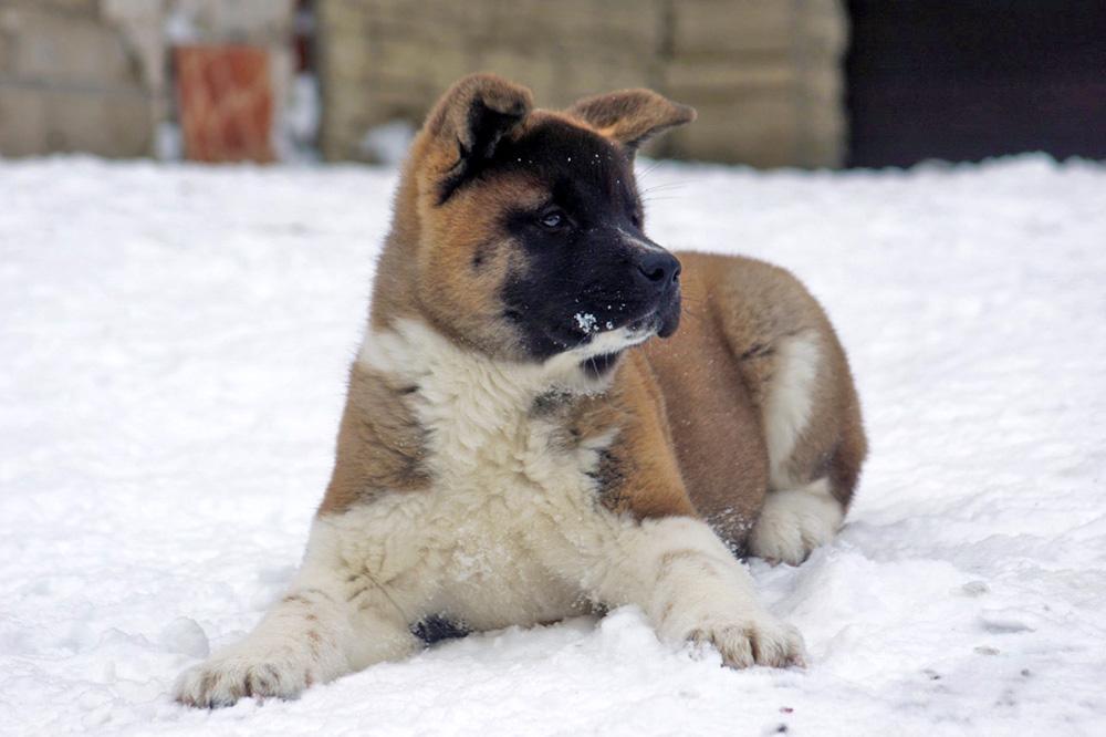 #american_akita_puppy_SIBERIAN_HUNTER_OMEGA
