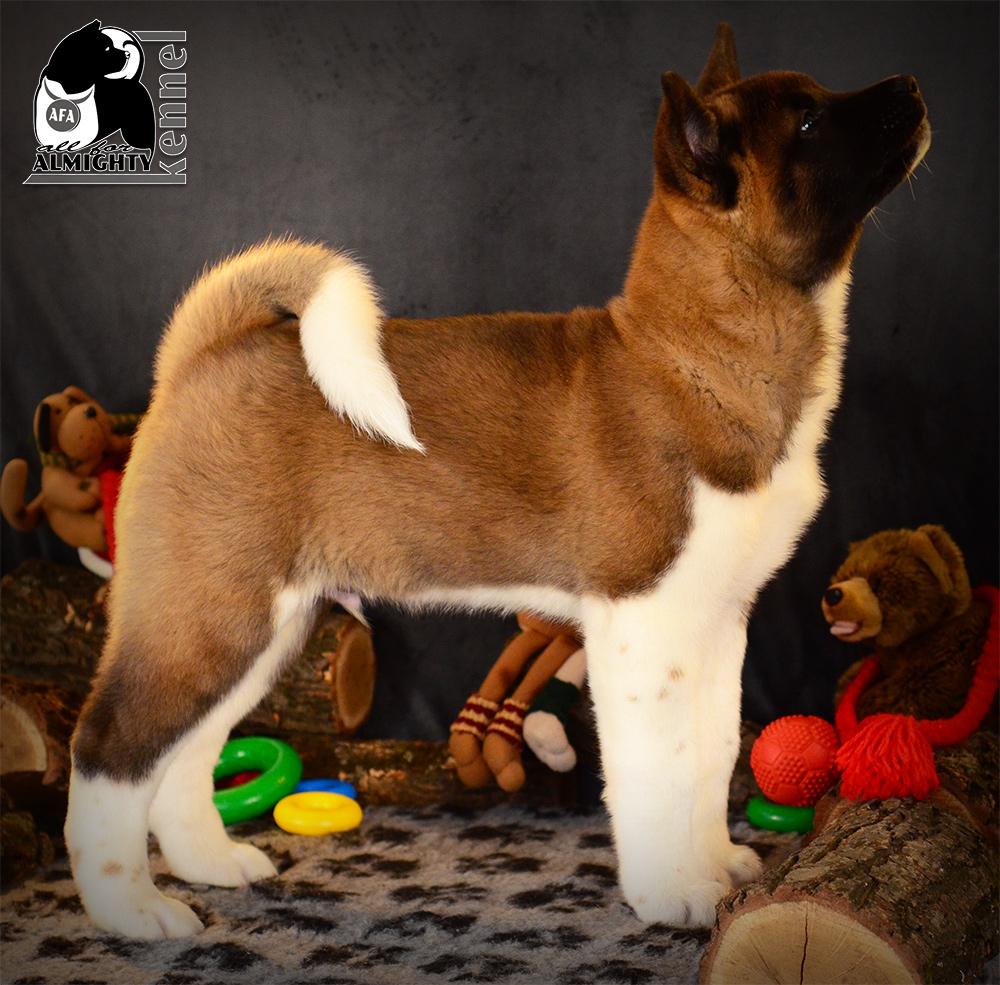 американская акита щенки ::: american akita puppies
