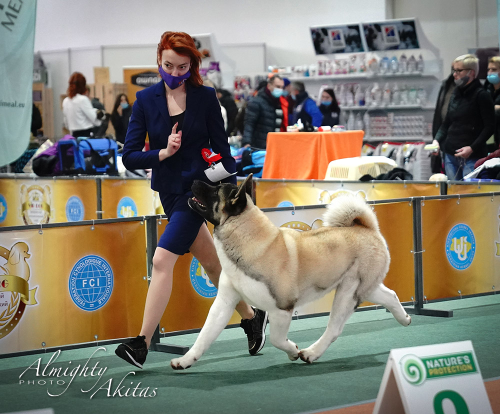 AMERICAN AKITA  |  CACIB FCI  | 14.03.2021 |  VIP DOG ZAPORIZHZHYA DOG SHOW  |  UKRAINE