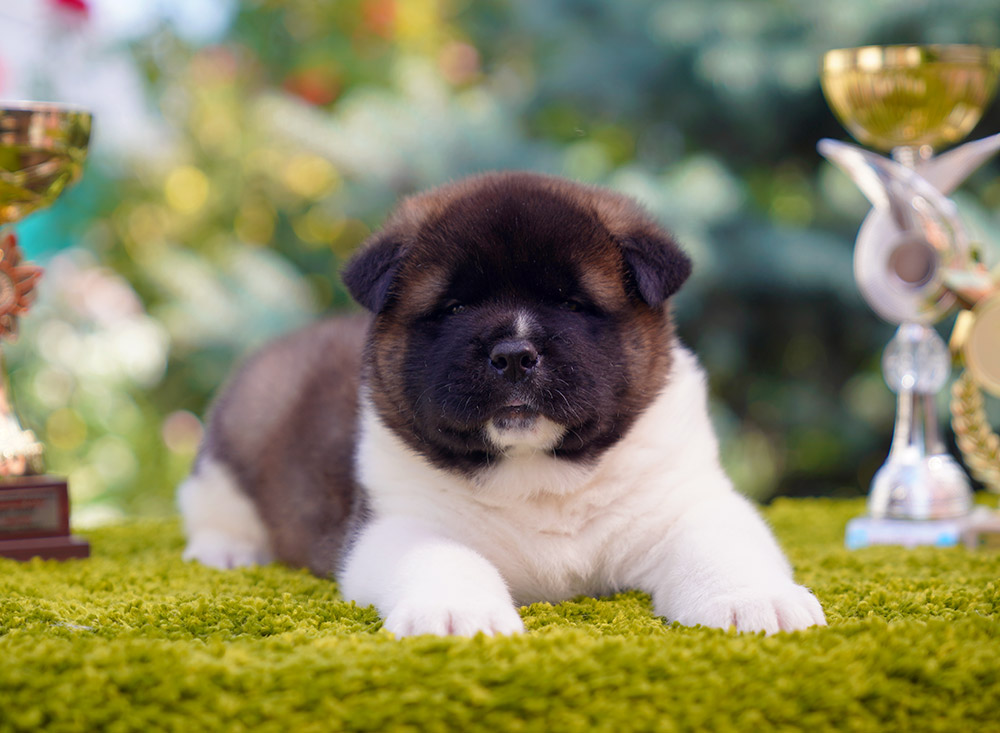 American akita puppy :::