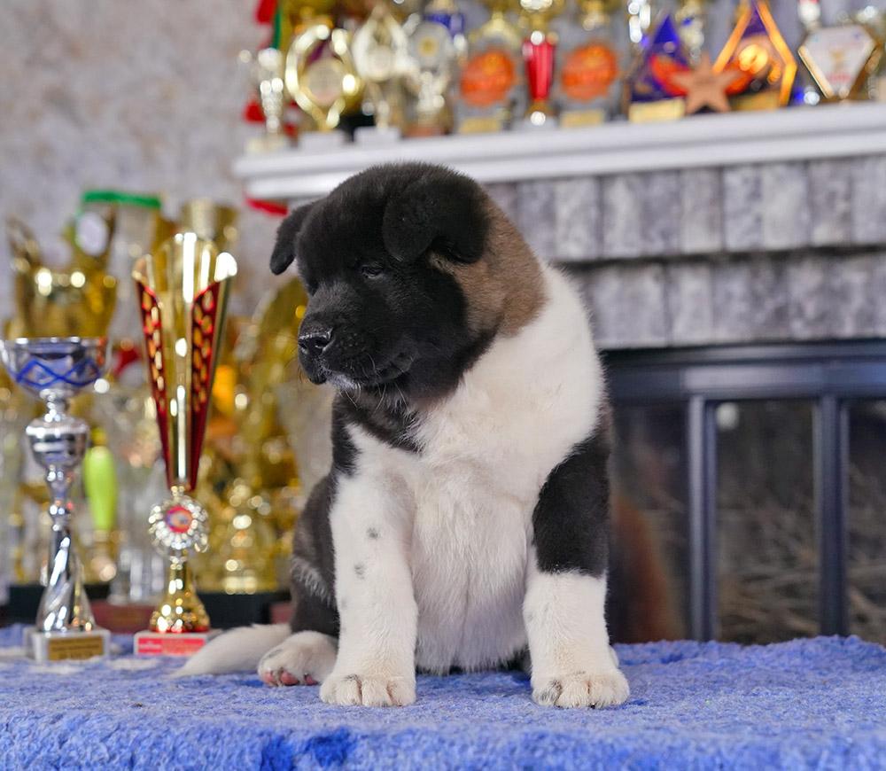 American Akita Puppy - 9 weeks
