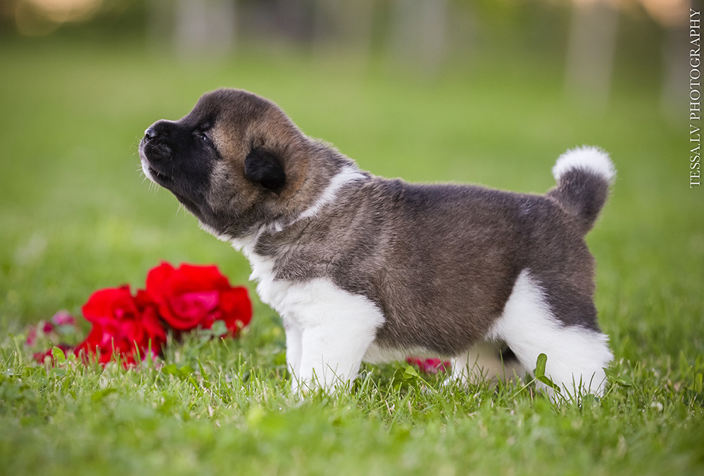 American akita puppy LUNA 3 weeks