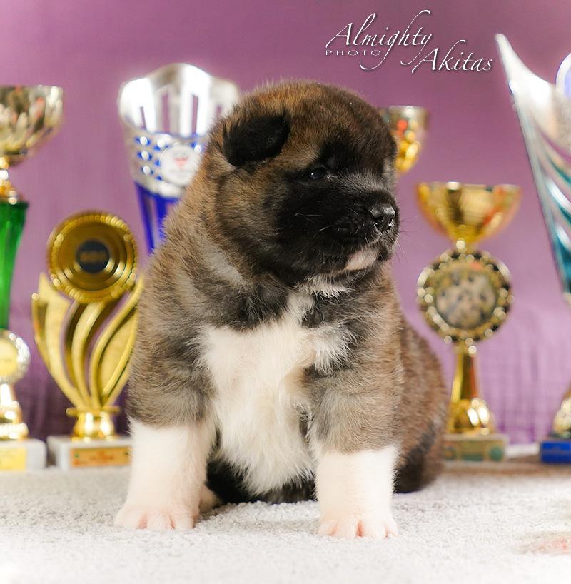 American akita puppy, AFA HIGH BLOOD, female, 25 days