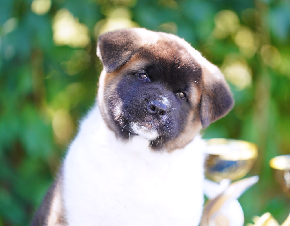 American akita puppy VIGGO KING OF THE RING ::: Щенок американской акиты VIGGO KING OF THE RING