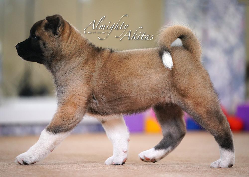 Щенок американской акиты, AFA HIGH BLOOD, девочка, 2 месяца