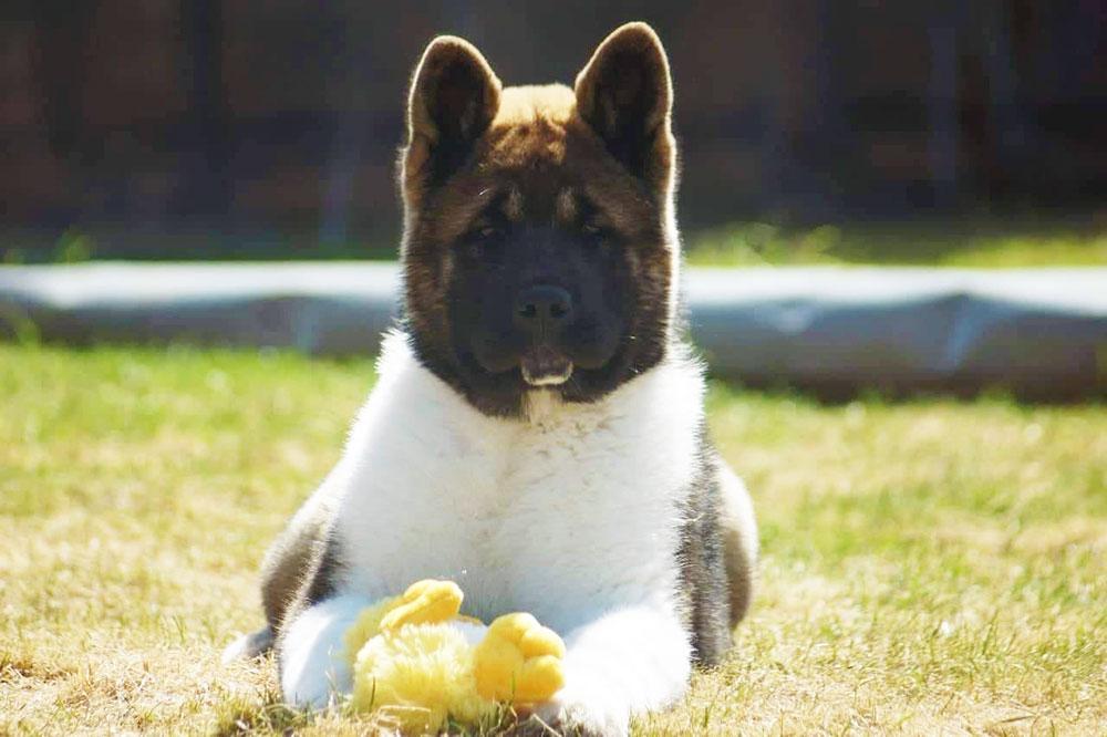 Щенок Американская акита ::: American Akita puppy - 4 months