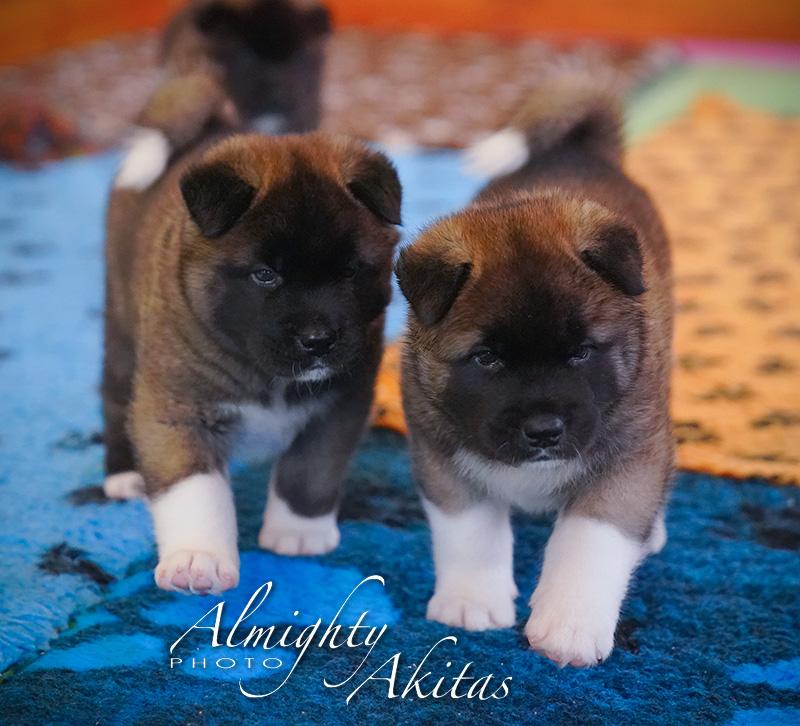 American akita puppy, AFA HIGH BLOOD, female, 35 days