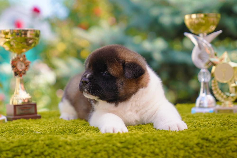 American Akita puppy male(1) 1 month old ::: Щенок американской акиты кобель 1 мес