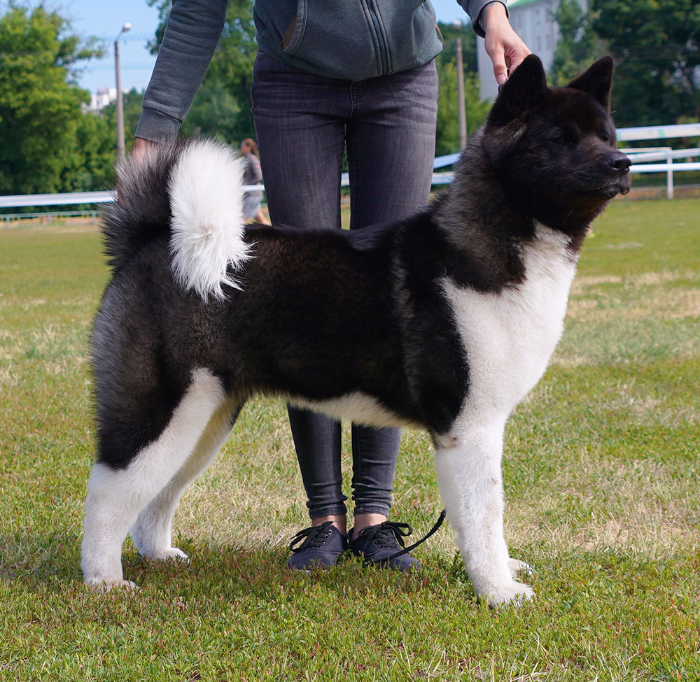 American Akita ALL FOR ALMIGHTY DAZZLING QUEEN OF THE WIN