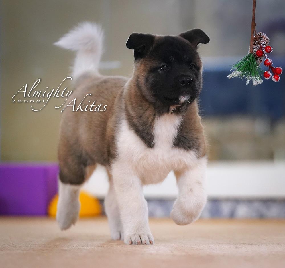 American akita puppy, AFA HAPPY HUNTER, female, 2 months