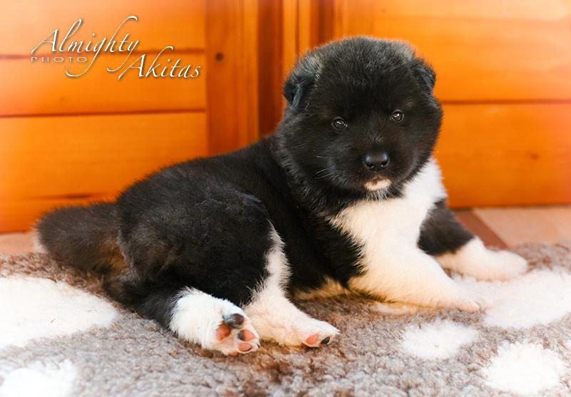 American akita puppy, AFA HURRICANE EYE, female, 25 days