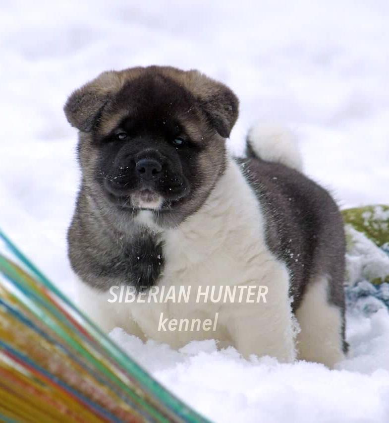 Щенки Американской акиты ::: American Akita puppies ::: 4 months