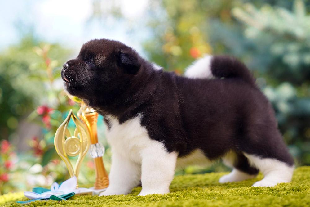American Akita puppу female 1 month old ::: Щенок американской акиты девочка 1 мес