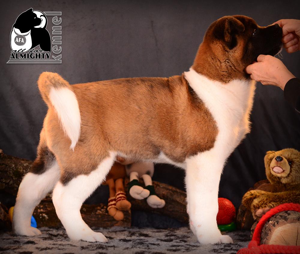 щенок американская акита ::: American akita puppy ::: питомник ::: american akita kennel