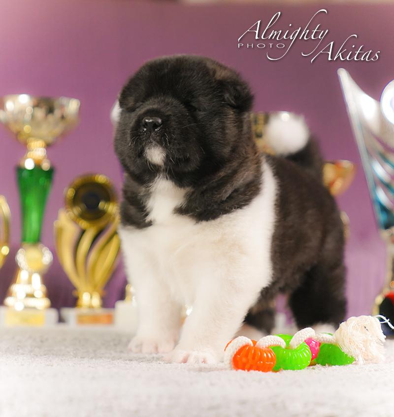 American akita puppy, AFA HERMES TRISMEGIST, male, 25 days